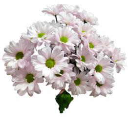 Кустовая хризантема Рейган