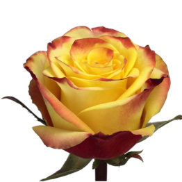 Роза Хот Меренге
