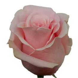 Роза Нена