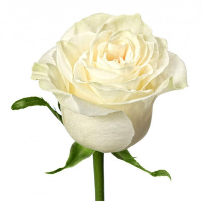 Роза бело-кремовая
