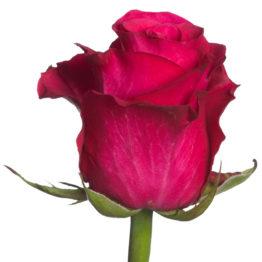 Роза Конфети