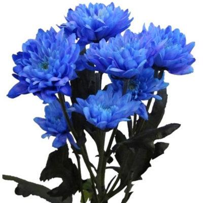 Хризантема синяя