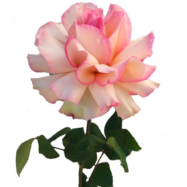 Розовая японская роза
