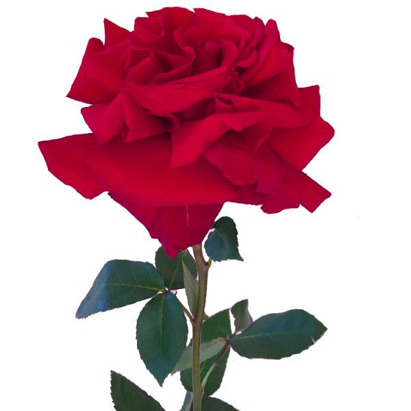 Красная японская роза