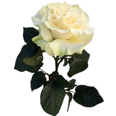 Белая Японская роза
